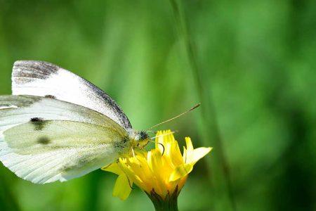 Trabzon Kelebekleri Ve Fotoğrafçılık